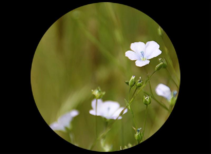 Un jour, une plante en... Bretagne, nouvelle rubrique à découvrir