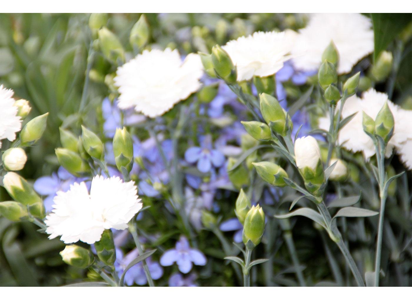 Palette végétale : oeillets de fleuristes, lobelias...