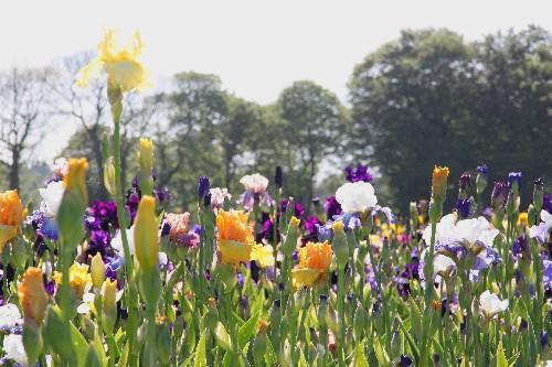 A la découverte du jardin d'iris à Bubry dans le Morbihan (56)