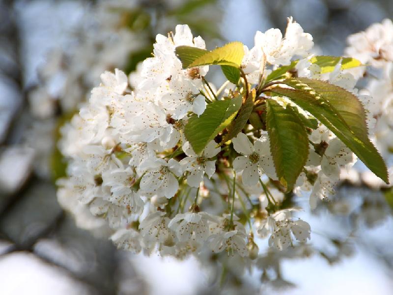 Merisier cerisier sauvage